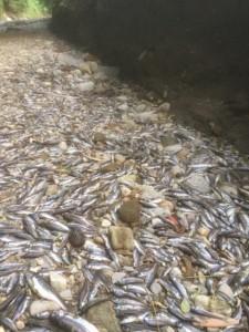 Prima che la Provincia li rimuovesse, erano migliaia i pesci morti lungo il greto del Lura.